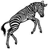 Zebra baby Royalty Free Stock Images