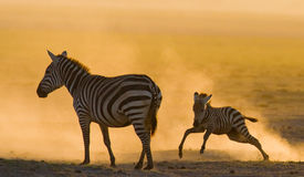 Zebra with a baby in the dust against the setting sun. Kenya. Tanzania. National Park. Serengeti. Maasai Mara. Royalty Free Stock Images