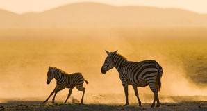 Zebra with a baby in the dust against the setting sun. Kenya. Tanzania. National Park. Serengeti. Maasai Mara. Royalty Free Stock Photography