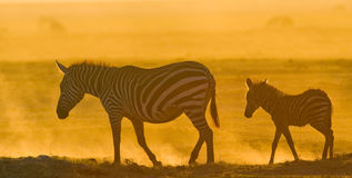 Zebra with a baby in the dust against the setting sun. Kenya. Tanzania. National Park. Serengeti. Maasai Mara. Stock Images