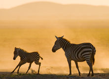 Zebra with a baby in the dust against the setting sun. Kenya. Tanzania. National Park. Serengeti. Maasai Mara. Royalty Free Stock Image