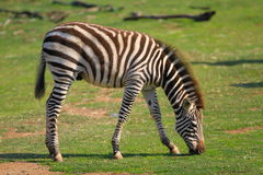 Zebra. A baby Zebra eating by him self Stock Photos