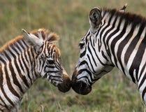 Zebra with a baby. Kenya. Tanzania. National Park. Serengeti. Maasai Mara. An excellent illustration royalty free stock photography