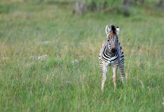 Zebra Baby. In the  Moremi Game reserve in Botswana Royalty Free Stock Image