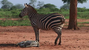 Zebra with a baby Royalty Free Stock Image