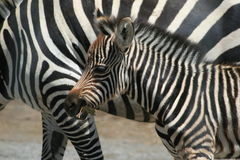 Zebra Baby with parent stripes Stock Photo
