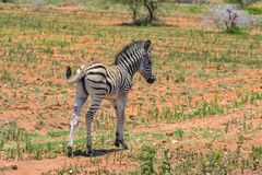 Zebra, baby. Standing in the savannah, first steps stock photography