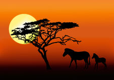 Zebra and baby in sunset. Zebra with baby walking in silhouette during sunrise in africa Stock Photography