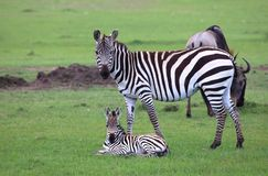 Zebra and baby with wildebeest grazing stock photography