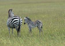 Zebra and baby zebra in green field stock image