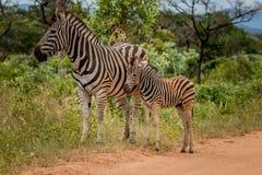A Zebra with a baby Zebra. Royalty Free Stock Photo