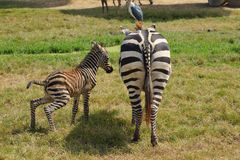 Zebra baby at the zoo with his mother. Royalty Free Stock Images