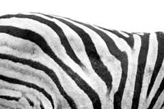 Zebra back Stock Image