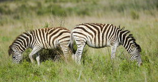 Zebra back to back Royalty Free Stock Photos