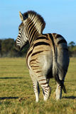 Zebra back view royalty free stock photography