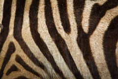 Zebra background Royalty Free Stock Photo