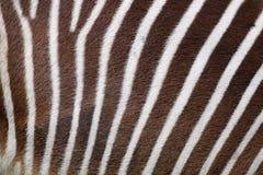 Zebra background Royalty Free Stock Images