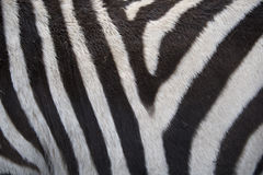 Zebra background. Real zebra as background texture Royalty Free Stock Photos