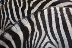 Zebra background. Real zebra as background texture Stock Photo