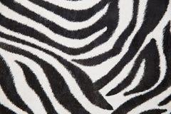 Zebra background Stock Image