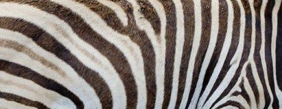 Zebra background Stock Images