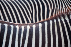 Zebra background. Soft focus abstract image of two zebras backs & sides backlit from the sun creating a beautiful background photograph Stock Photo