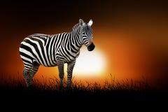 Zebra on the background of sunset Royalty Free Stock Photos