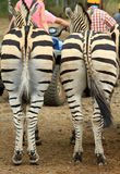 Zebra backs Stock Photos