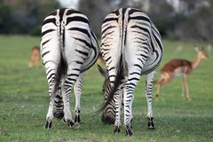 Zebra Backsides Stock Images
