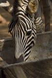 Zebra in Bangkok zoo. A zebra eating grass in Bangkok zoo, Thailand Stock Image