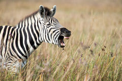 Zebra baring teeth Stock Photos