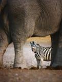 Zebra barking. Animal humour; Zebra barking; seen through elephants legs; Etosha Stock Photos