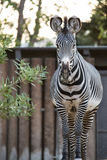 Zebra by the barn Royalty Free Stock Photo