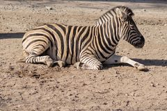 Zebra. Beautiful animals in the city park on a sunny day royalty free stock images