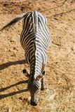 Zebra. Beautiful Animals At Tbilisi Zoo stock images