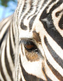 Zebra. Beautiful zebra thought about something Stock Images