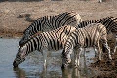 Zebra bebendo Fotos de Stock Royalty Free