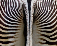 Zebra behind Royalty Free Stock Images