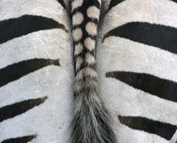 Zebra from behind. Photograph of the rear end of a zebra Stock Images