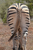 Zebra from behind Royalty Free Stock Photos
