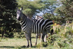 Zebra Behind Bush Royalty Free Stock Images