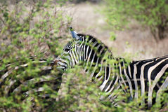 Zebra behind shrubbery Royalty Free Stock Photos
