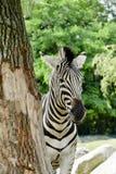 Zebra behind the tree Stock Photos