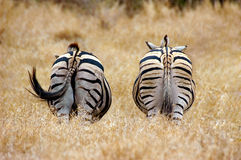 Zebra behinds. At Kruger National park, South Africa Royalty Free Stock Images