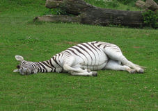 Zebra being at rest Royalty Free Stock Photography
