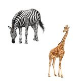 Zebra bent down eating grass. Beautiful adult. Zebra bent down eating grass, Beautiful adult Giraffe looking at us, illustration isolated on white background Royalty Free Stock Images