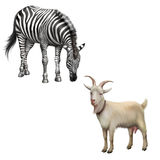 Zebra bent down eating grass, Goat Stock Photo