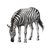 Zebra bent down eating grass Stock Image