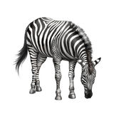 Zebra bent down eating grass. isolated on white Stock Photos