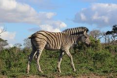 Zebra in beweging Royalty-vrije Stock Afbeeldingen